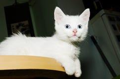 Kitten Table Cuteness Snow White royalty-vrije stock fotografie