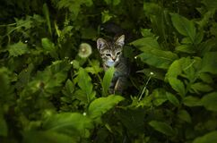 Kitten in tall grass Royalty Free Stock Photo