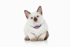 Kitten. Thai cat on white background Royalty Free Stock Photos