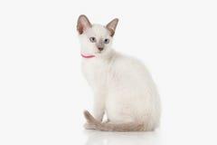 Kitten. Thai cat on white background Royalty Free Stock Image