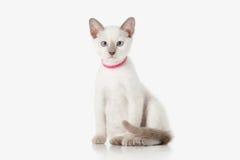 Kitten. Thai cat on white background Royalty Free Stock Photo