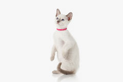 Kitten. Thai cat on white background Royalty Free Stock Images