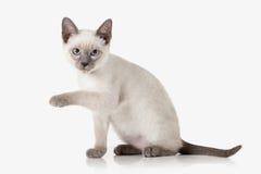 Kitten. Thai cat on white background Royalty Free Stock Photos