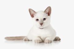 Kitten. Thai cat on white background Stock Photography