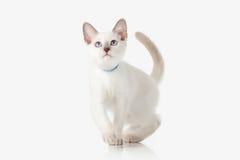Kitten. Thai cat on white background Stock Image