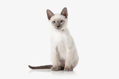 Kitten. Thai cat on white background. Thai cat on white background stock photo