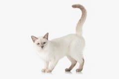 Kitten. Thai cat on white background Stock Photo