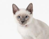 Kitten. Thai cat on white background Stock Images