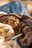 Kitten with thermometer Royalty Free Stock Photos
