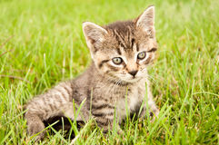 Kitten. Tiger striped kitten laying in the grass Stock Photos