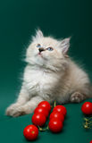Kitten with tomatoes. Kitten of breed Neva Masquerade. Kitten with tomatoes Royalty Free Stock Photos
