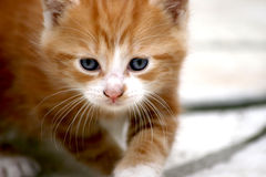 Kitten tomcat Royalty Free Stock Images