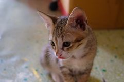 The kitten is tongue and staring at something with sunlight in the morning.  Royalty Free Stock Photo