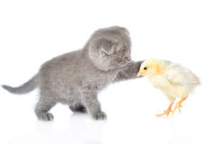 Kitten touches chicken. isolated on white background Royalty Free Stock Photography