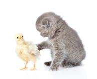 Kitten touches chicken. isolated on white background Stock Photos