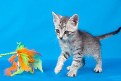 Kitten with a toy Royalty Free Stock Image