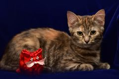 Kitten and toy cat Royalty Free Stock Photo