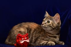 Kitten and toy cat Stock Image