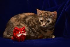 Kitten and toy cat Stock Images