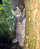 Kitten in a Tree. An adorable Highland Lynx kitten learning to climb a tree royalty free stock image