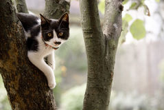 Kitten on tree. Black white kitten hanging on tree Royalty Free Stock Photo