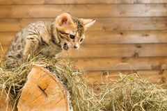 Kitten on the tree growls at someone in the hay. Kitten on the tree growls at someone Royalty Free Stock Images