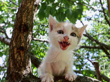 Kitten in a tree. Screaming kitten who can not get down from the tree Royalty Free Stock Photo