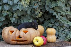 A kitten tries to get out of a pumpkin. Halloween. Royalty Free Stock Image