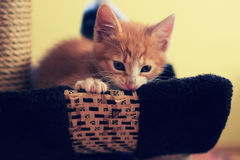 Kitten. Try to eat something Royalty Free Stock Photos