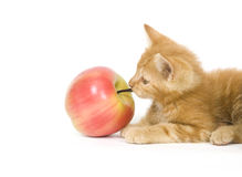 Kitten tugging on an apple. A kitten pulls on the stem of an artificial apple while playing Royalty Free Stock Photo