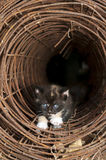Calico Kitten in tunnel. Calico kitten in a wire tunnel Stock Images