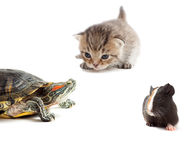 Kitten, turtle and guinea pig Royalty Free Stock Photos