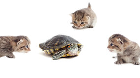 Kitten and turtle Royalty Free Stock Images