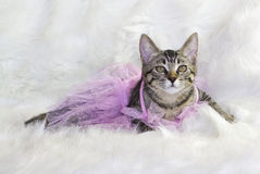 Kitten in a tutu. Stock Photos