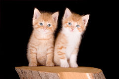 Kitten twins Stock Images