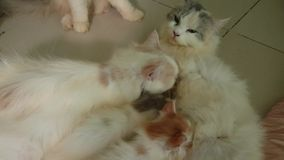 Kitten two months old  are breast feeding. stock footage