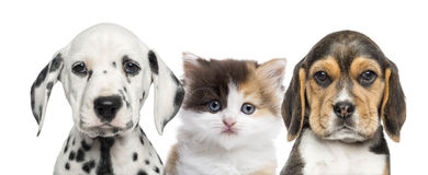 Kitten between two puppies looking at the camera Royalty Free Stock Photo