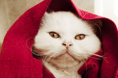 Kitten under blanket. Persian kitten with funny expression Royalty Free Stock Images