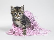 Kitten under wool Stock Image
