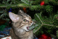 Kitten Up To No Good. A kitten taking a bite of the Chirstmas tree Stock Photos
