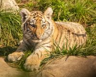 Kitten of ussurian tiger stock images
