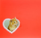 Kitten valentine with copy space Stock Images