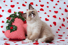 Kitten with Valentine theme. Ragdoll kitten posing on Valentine theme background with heart-shaped cushions royalty free stock image