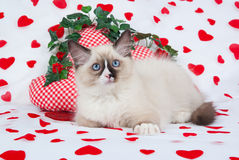 Kitten in Valentine theme. Ragdoll kitten against background with heart prints and heart-shaped miniature cushions Stock Photo