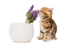 Kitten and a vase with lavender flower Royalty Free Stock Photos