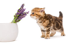 Kitten and a vase with lavender flower Royalty Free Stock Images
