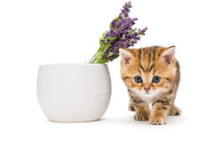 Kitten and a vase with lavender flower Royalty Free Stock Photo