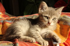 Kitten. View of a cat kitten laying on the sofa Royalty Free Stock Photos