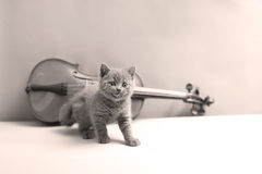 Kitten and a violin. British Shorthair kitten looking at a violin stock photography