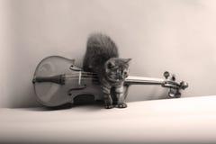 Kitten and a violin. British Shorthair kitten playing at the violin Stock Photos